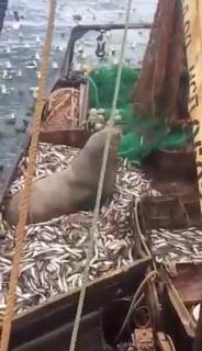 漁網にひっかかった珍客 Fish Net surprise