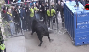 スタートも命懸けな牛追い祭り