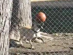 ボールを自由自在に操る犬