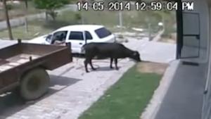 車で牛を盗む男
