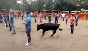 恐怖の「動かない」闘牛