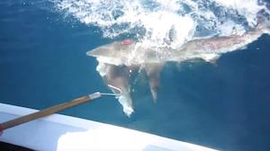 釣った魚を盗むサメ