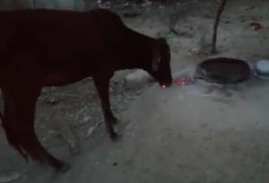 燃える炭を食べる牛