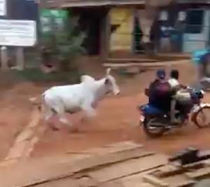 何故か牛に狙われたバイク