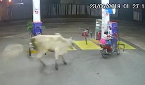 バイクに突進する牛