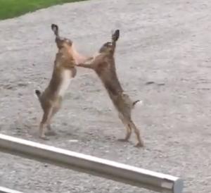 激しすぎるウサギ同士の喧嘩