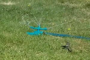 スプリンクラーと一緒に踊る鳥