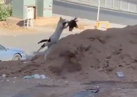 大ジャンプで鳩を捕まえる猫