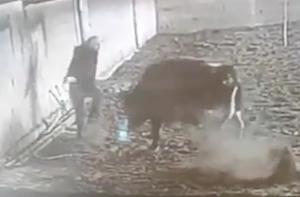 突然飼い牛に襲われる男性
