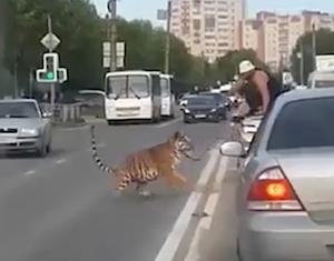 公道で暴れ出してしまったペット虎