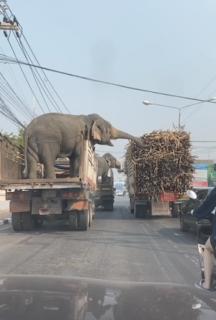 隣のトラックから餌を盗む象