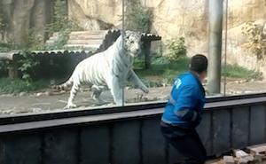 動物園の客をガラス越しに食べようとする虎