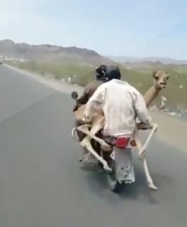 バイクにラクダを乗せて走る男