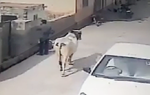電話してたら牛に襲われて空中一回転