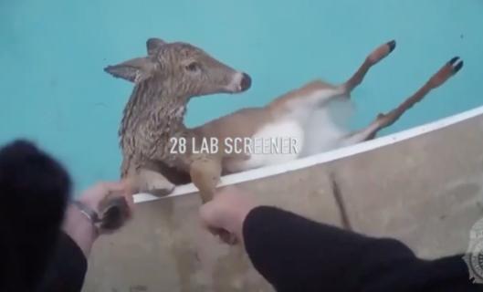 プールにはまって出られない鹿を救助