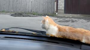 ボンネットの上が好きな猫