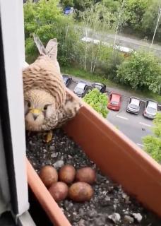 窓脇のプランターに卵を産んじゃった鳥