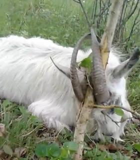 ツノが木に挟まってしまったヤギを救出