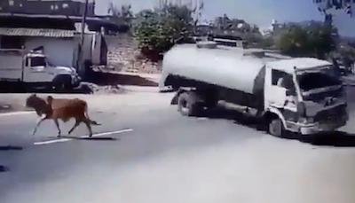 道路の牛をギリギリ避ける運転手