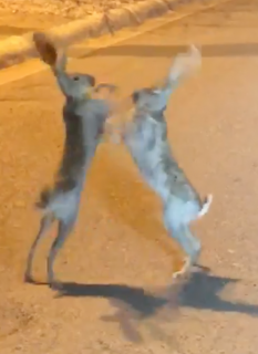 路上で格闘するウサギ