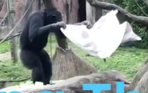 敷物を敷いて座るチンパンジー