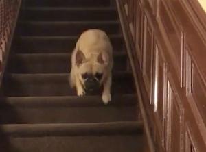 高速で階段を降りる犬