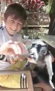 紅茶を飲むヤギ