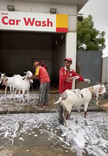 仕事がないのでヤギを洗う給油所スタッフ