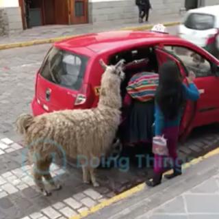 タクシーに乗るラマ