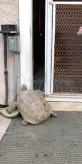 自分で戸を開ける亀
