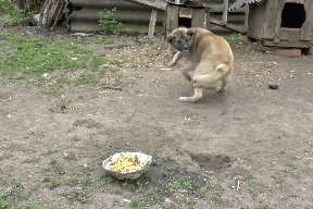 尻尾が気になって食事に集中できない犬
