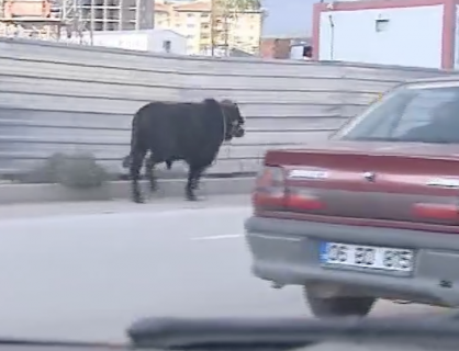 町を逃げ回る牛