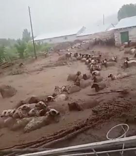 トルコの洪水で流される羊