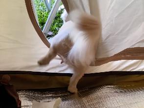 脚が短くてテントから出られない犬