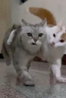肩を組んで走る猫