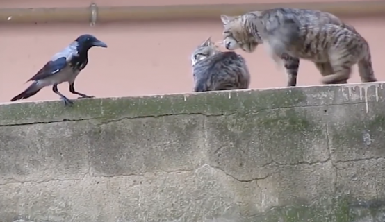 イチャつく猫を邪魔するカラス