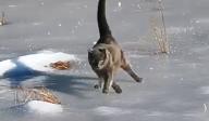 氷の上を頑張って歩く猫