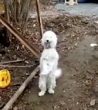 音楽に合わせて踊る犬